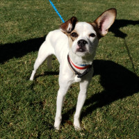 Pet of the week - Harley Chihuahua