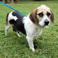 Pet of the week - Lucy beagle mix