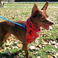 Pet of the week - Peanut Chihuahua