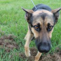 Houston PetSet German Shepherd