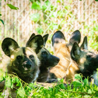 Houston Zoo painted dogs