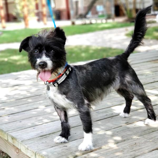 Meet Khloe, the tenacious Terrier mix, CultureMap's pet of the week