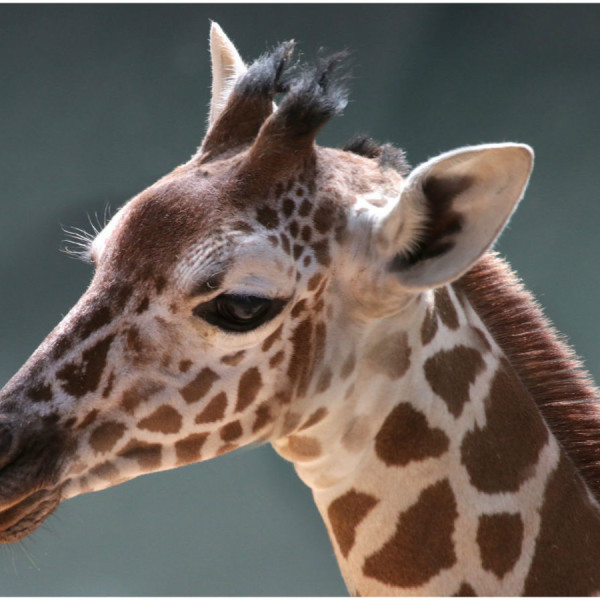 Another baby giraffe dies at the Dallas Zoo during routine exam