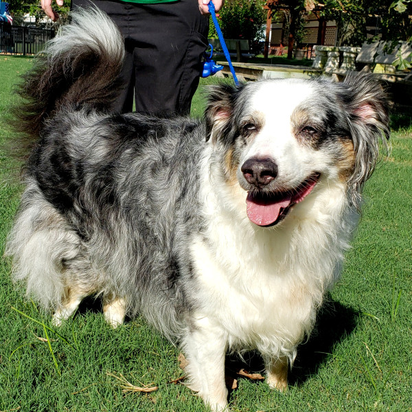 Meet Charlie, the amiable Aussie mix, CultureMap's pet of the week