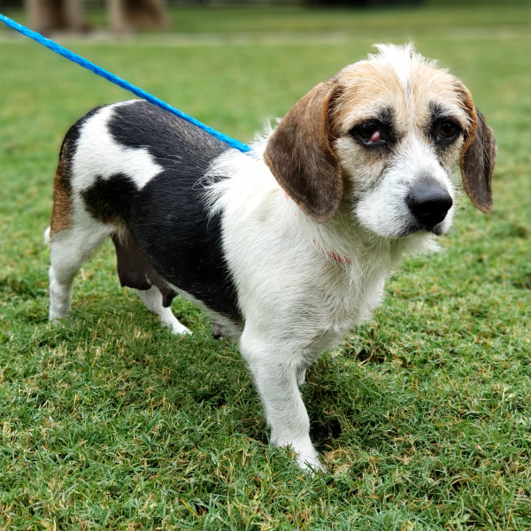 Meet Lucy, the bashful beagle mix, CultureMap's pet of the week