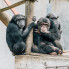 Cindy Brzostowski: Chimp Haven east of Houston gives retired lab chimpanzees second chance at happy life