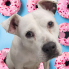 Ken Hoffman: Meet Betsy, the sweet Staffordshire terrier, CultureMap's pet of the week