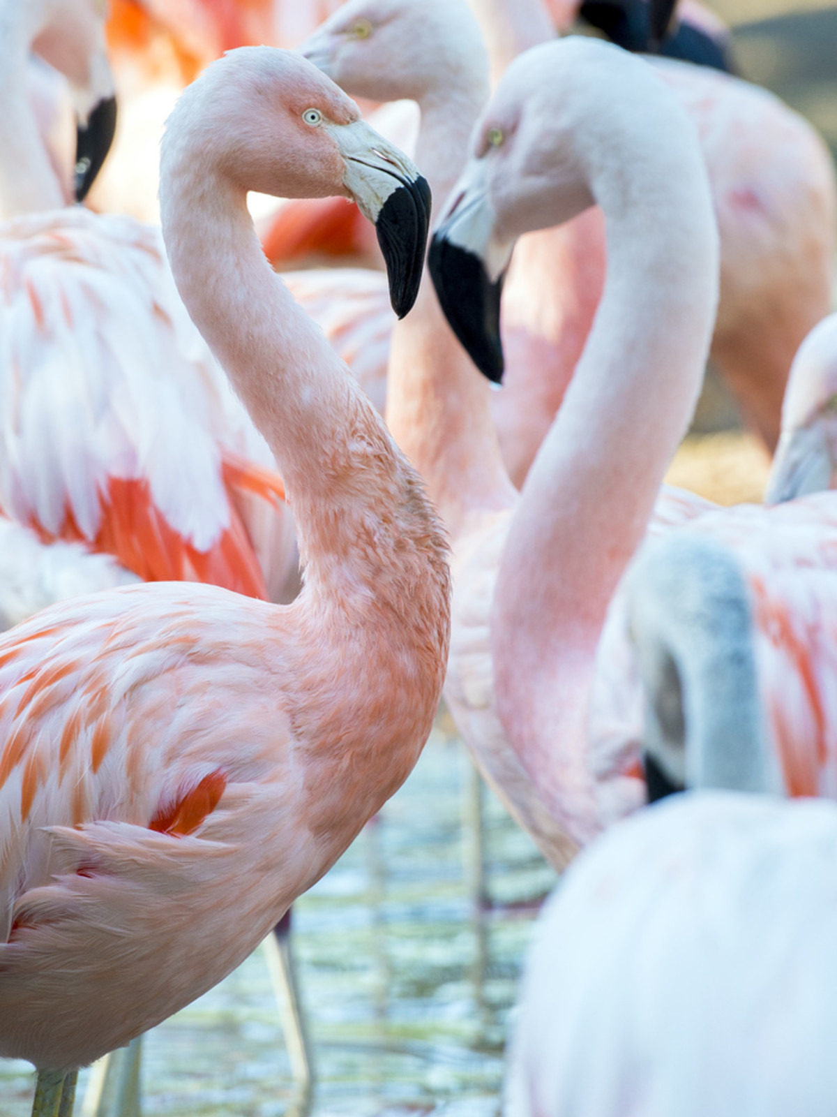 Houston Zoo Valentine's, Feb. 2016, Chilean Flamingo