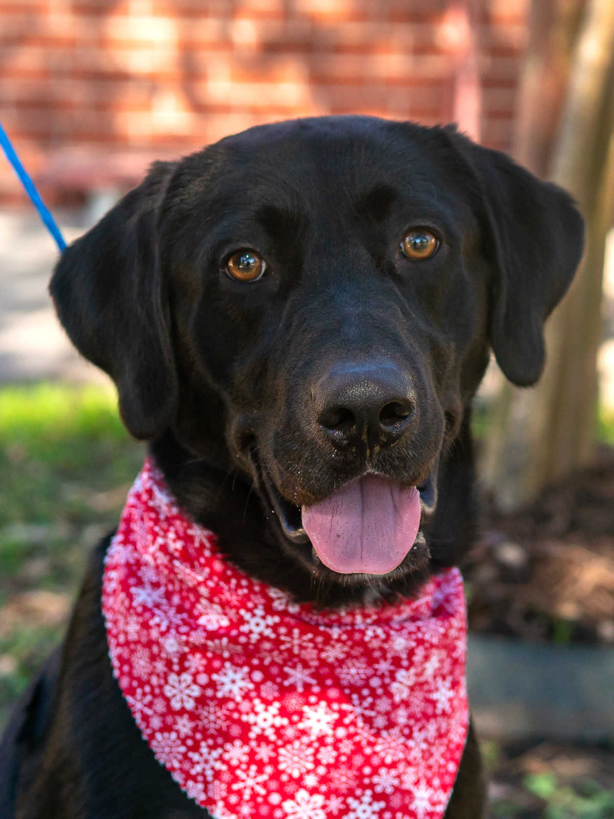 Pet of the week - Will Labrador retriever
