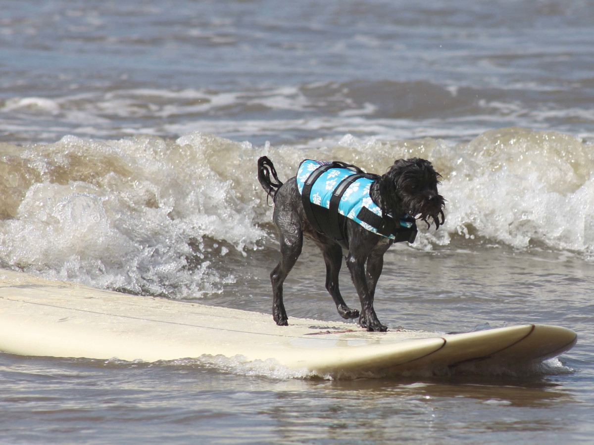 Ohana surf dog competition in Galveston July 2016