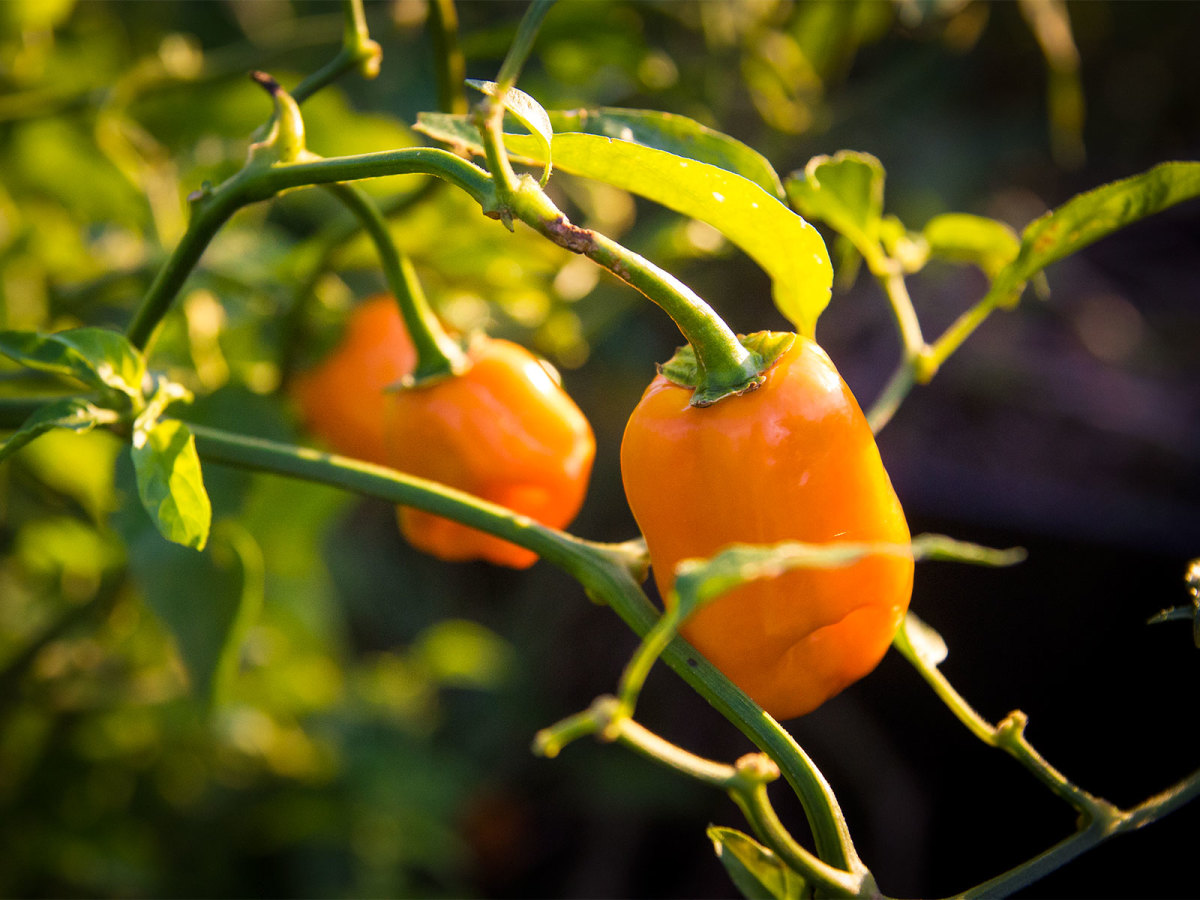 Picture of habanero peppers