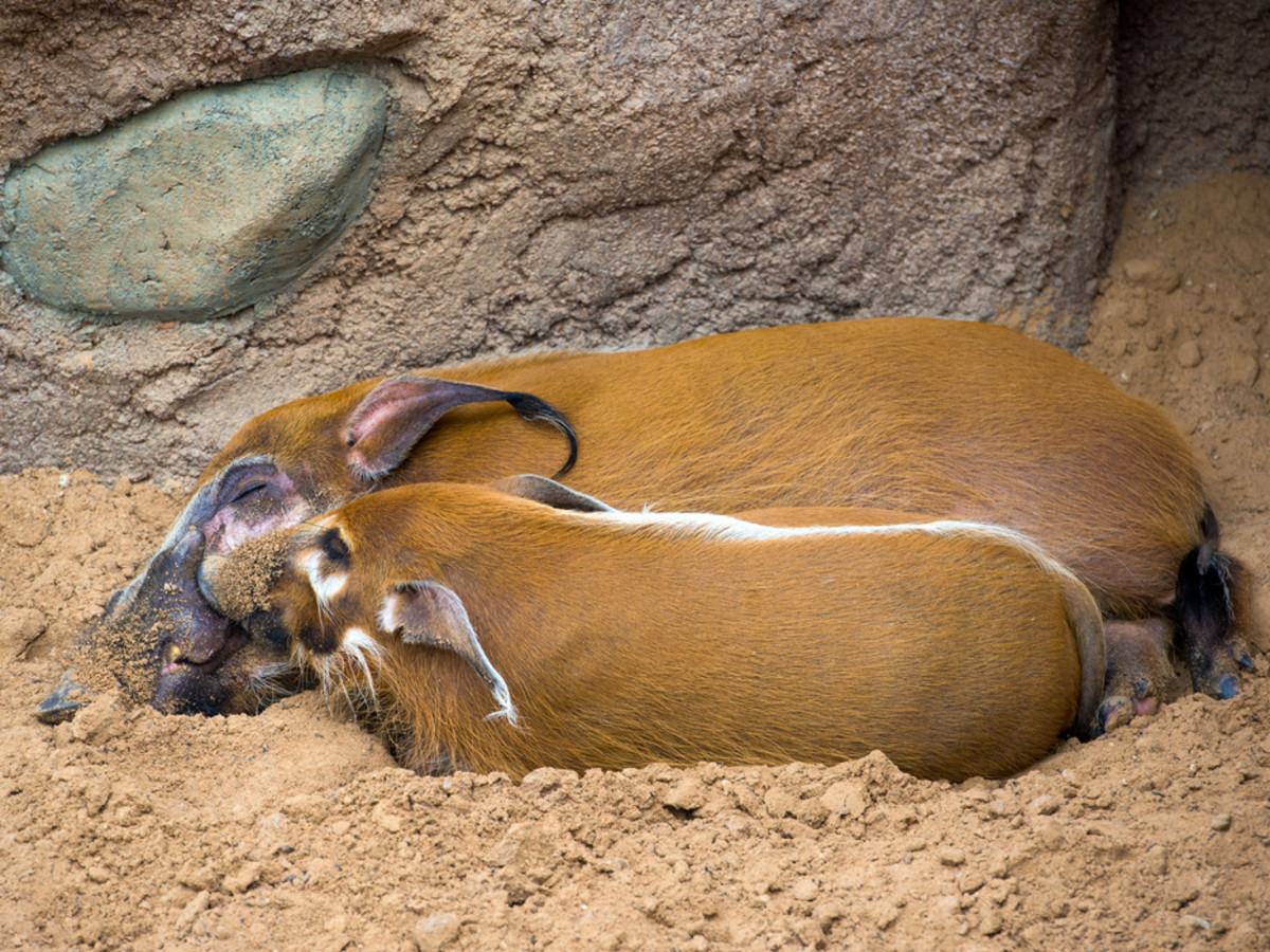 Houston Zoo Valentine's, Feb. 2016, Red River hog