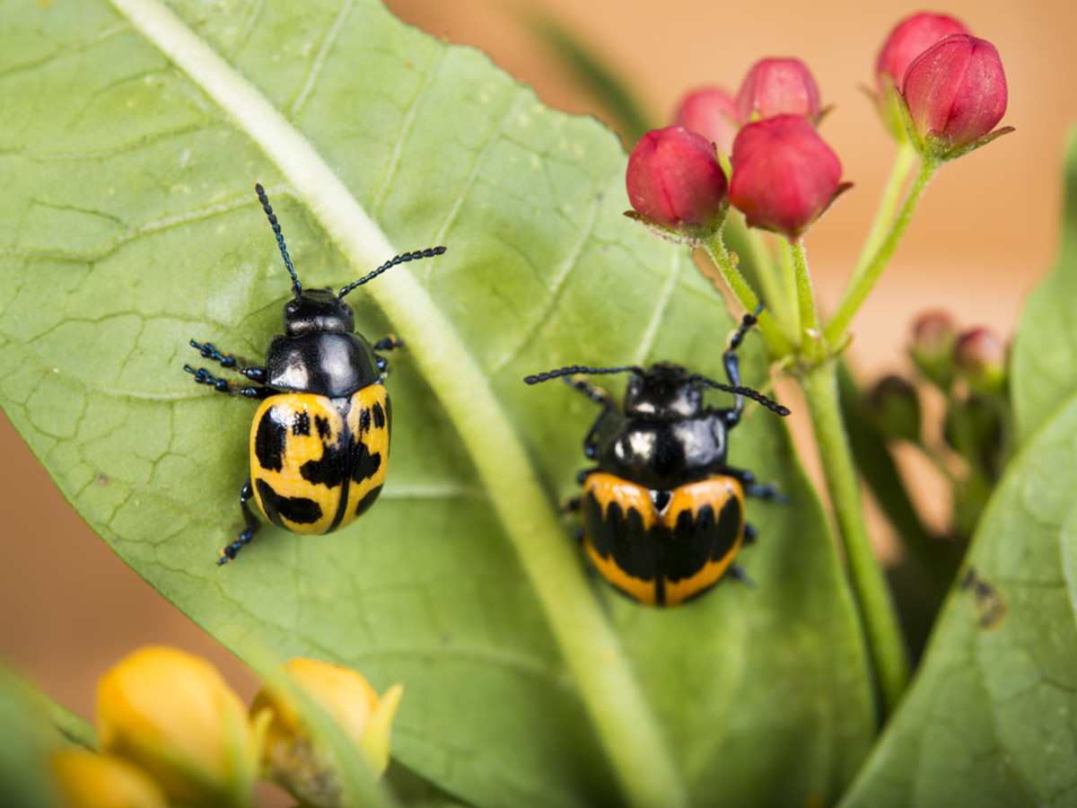 Houston Zoo Valentine's, Feb. 2016, Milkweed Leaf Beetle