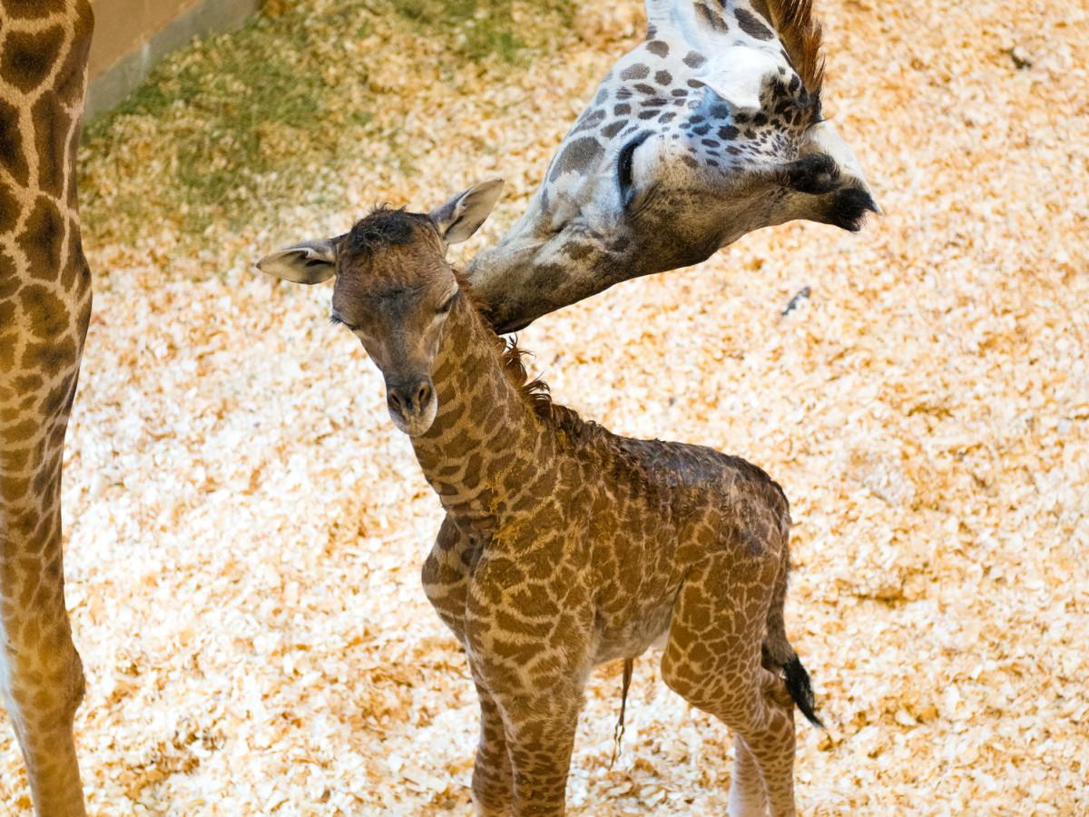 Houston, Houston Zoo, September 2015, baby giraffe and mom
