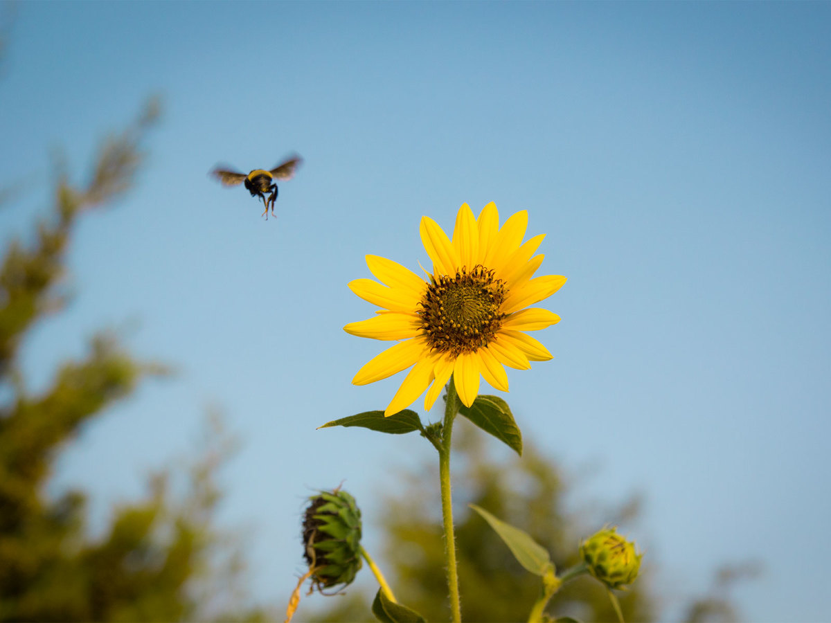 Photo of sunflower and carpenter bee