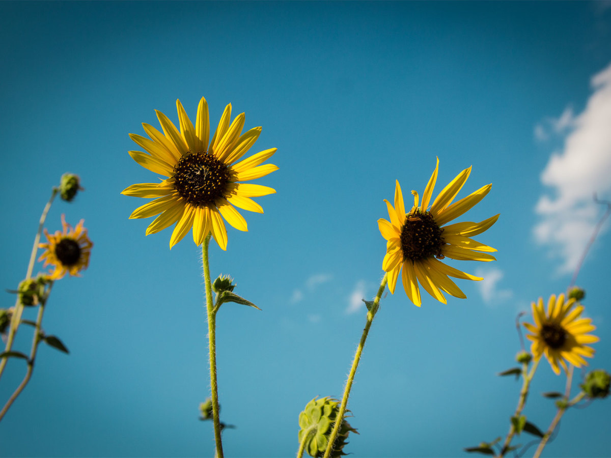 Photo of two common sunflowers against an azure sky