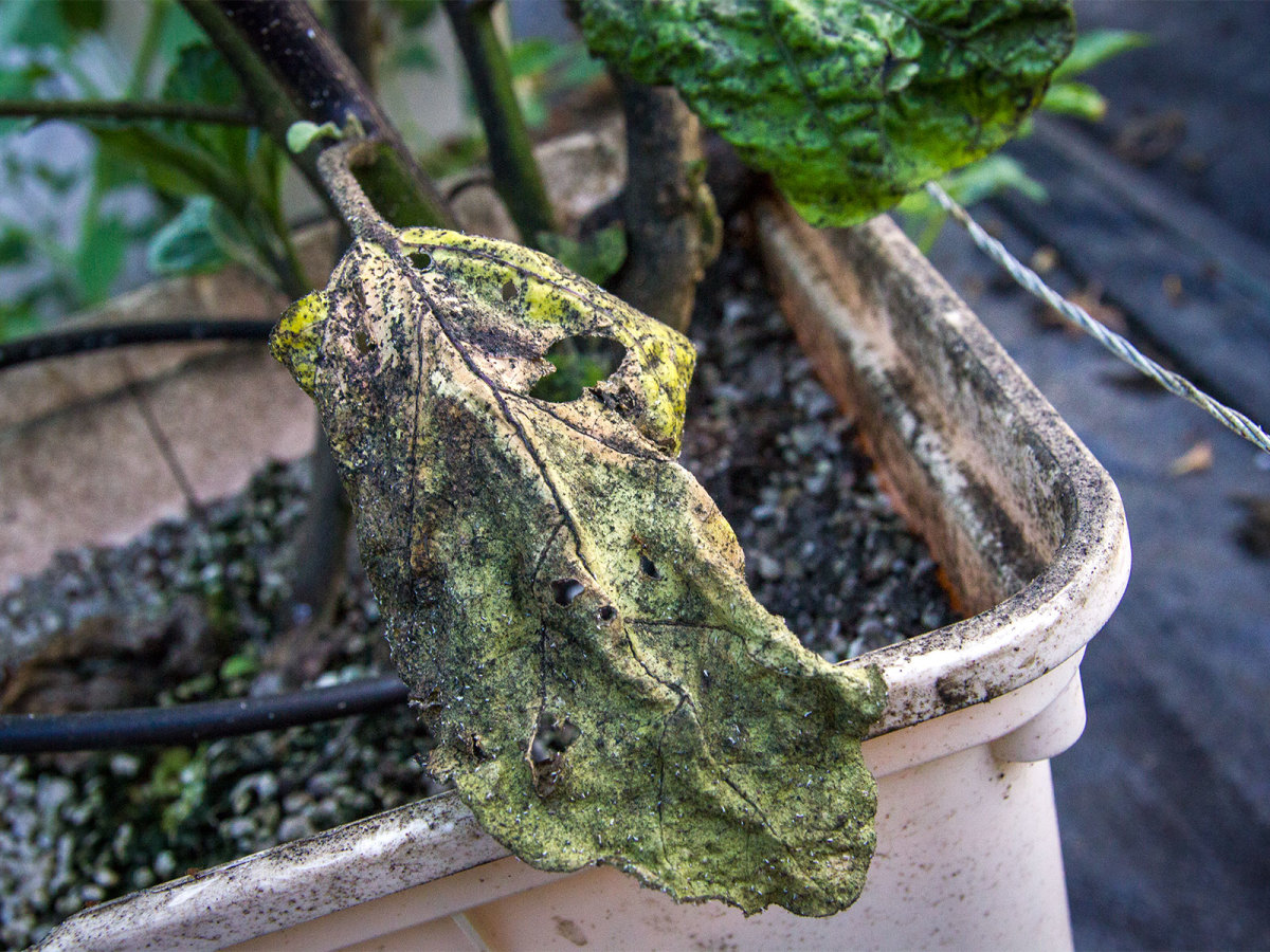 Photo of eggplant leaf affected by aphids