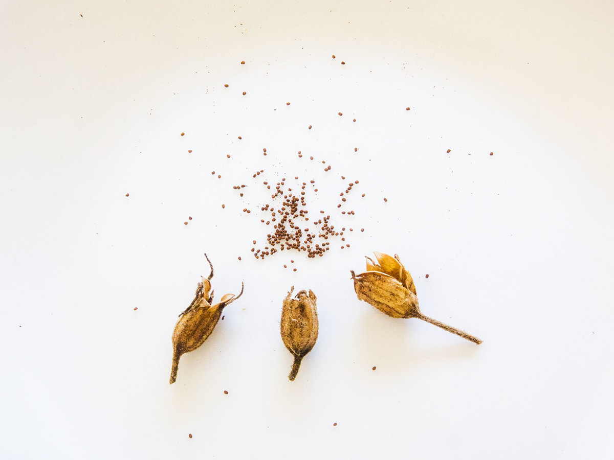 Photo of nicotiana seeds