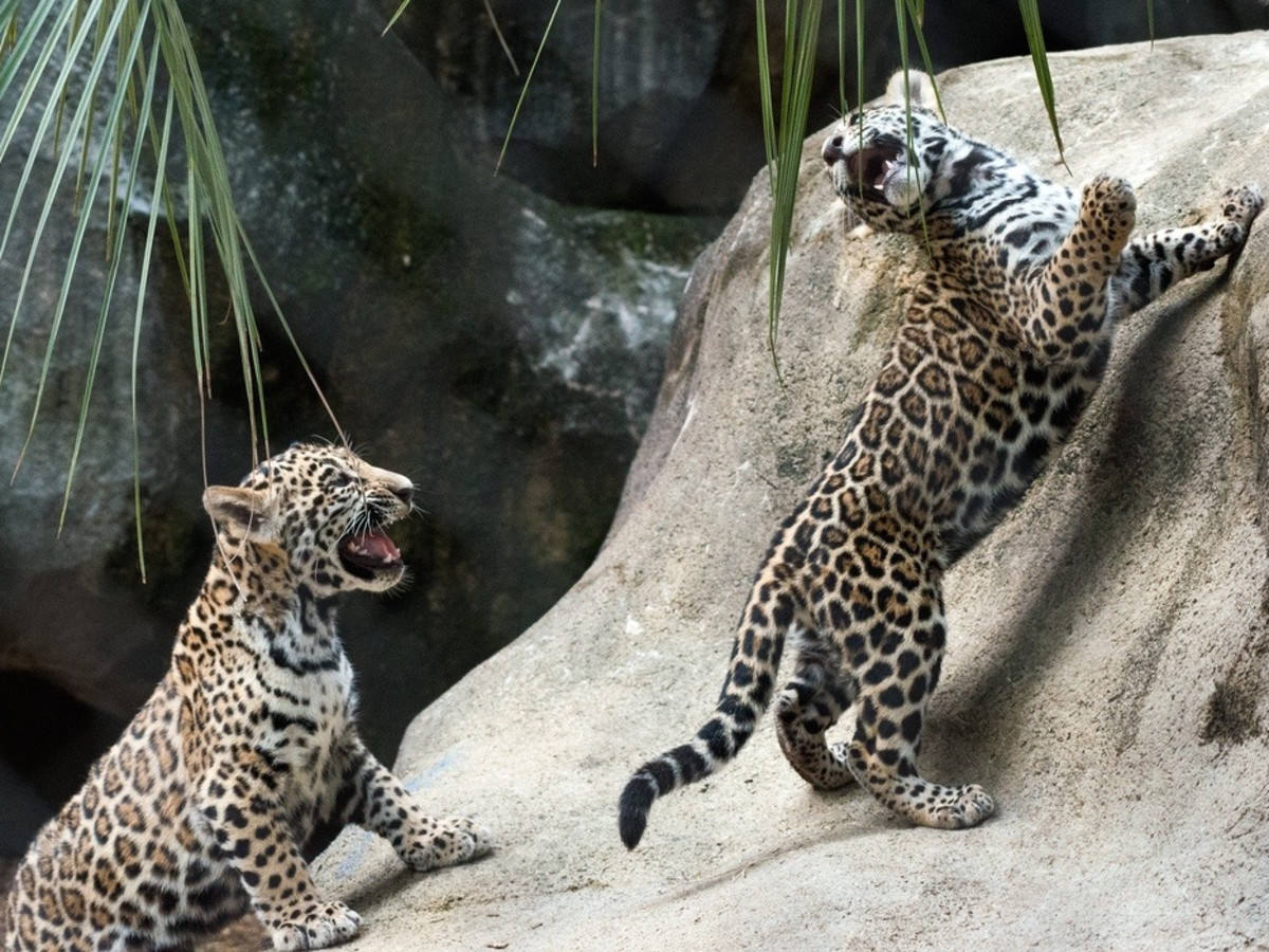 New jaguars born at the Houston Zoo