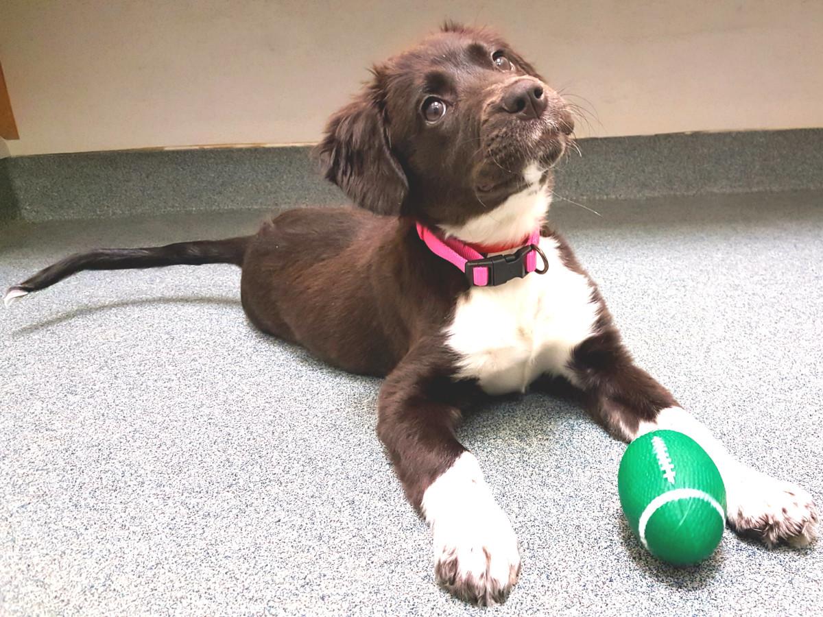 Pet of the Week-_Hoffman_Daisy puppy