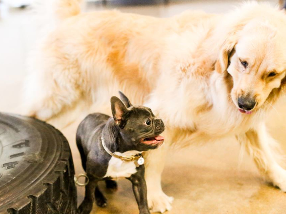 Dogs playing golden retriever Boston terrier coworking