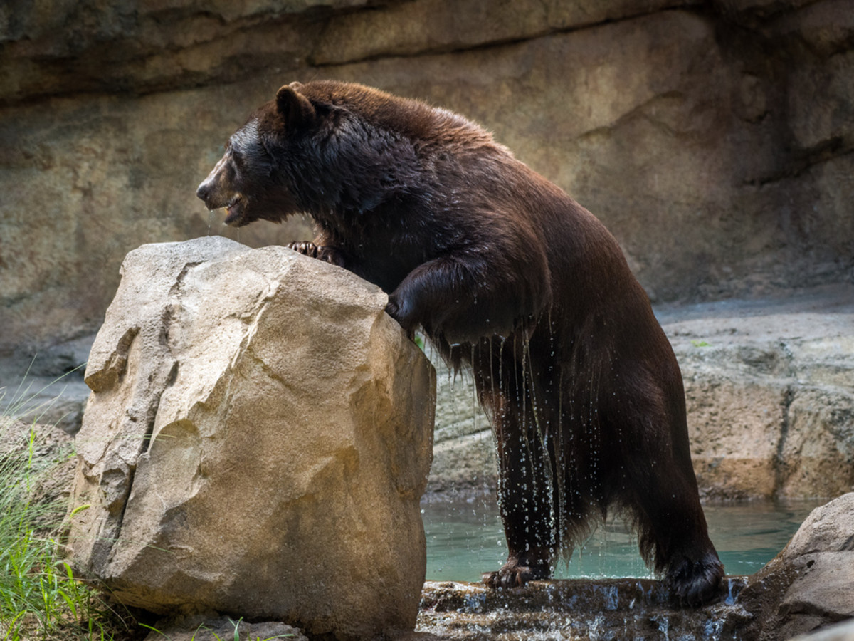 Houston Zoo black bear habitat bear with rock