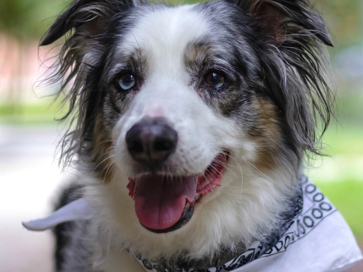 Pet of the Week - Zader Aussie