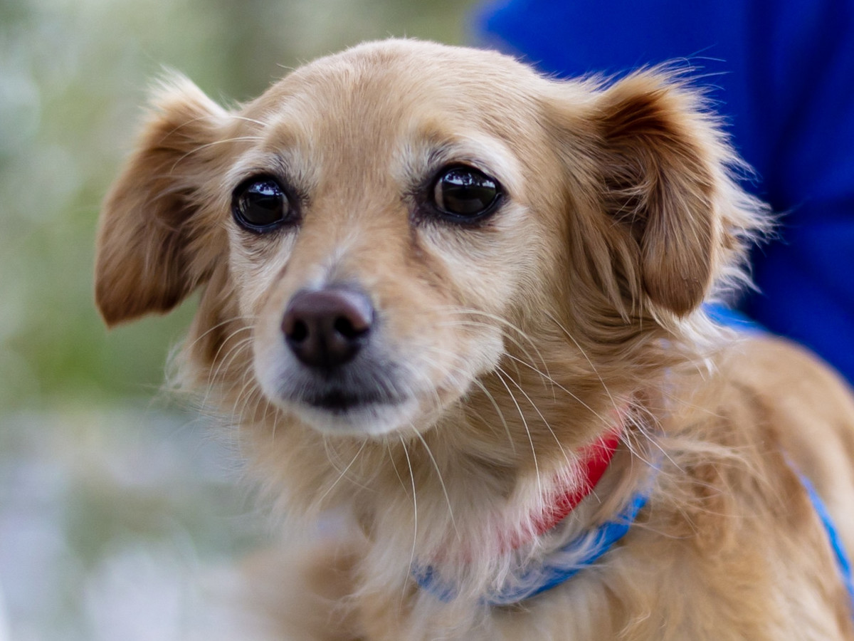 Pet of the Week - Ginger Chihuahua