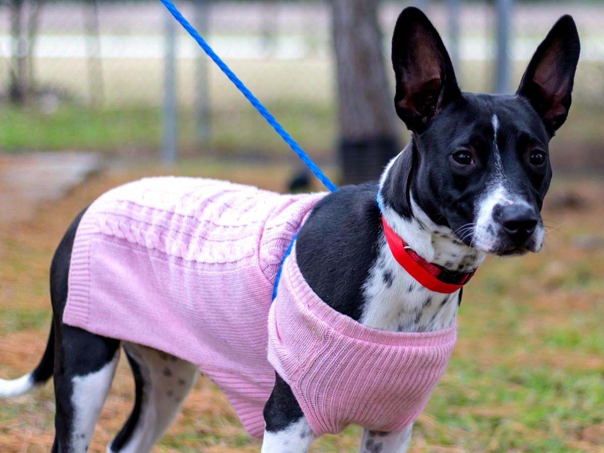 Pet of the Week - DJ Stafforshire terrier