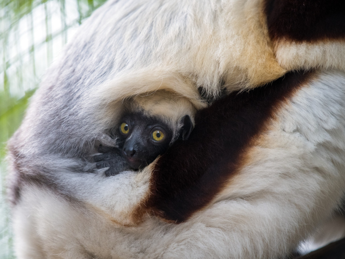 Houston Zoo new baby lemurs