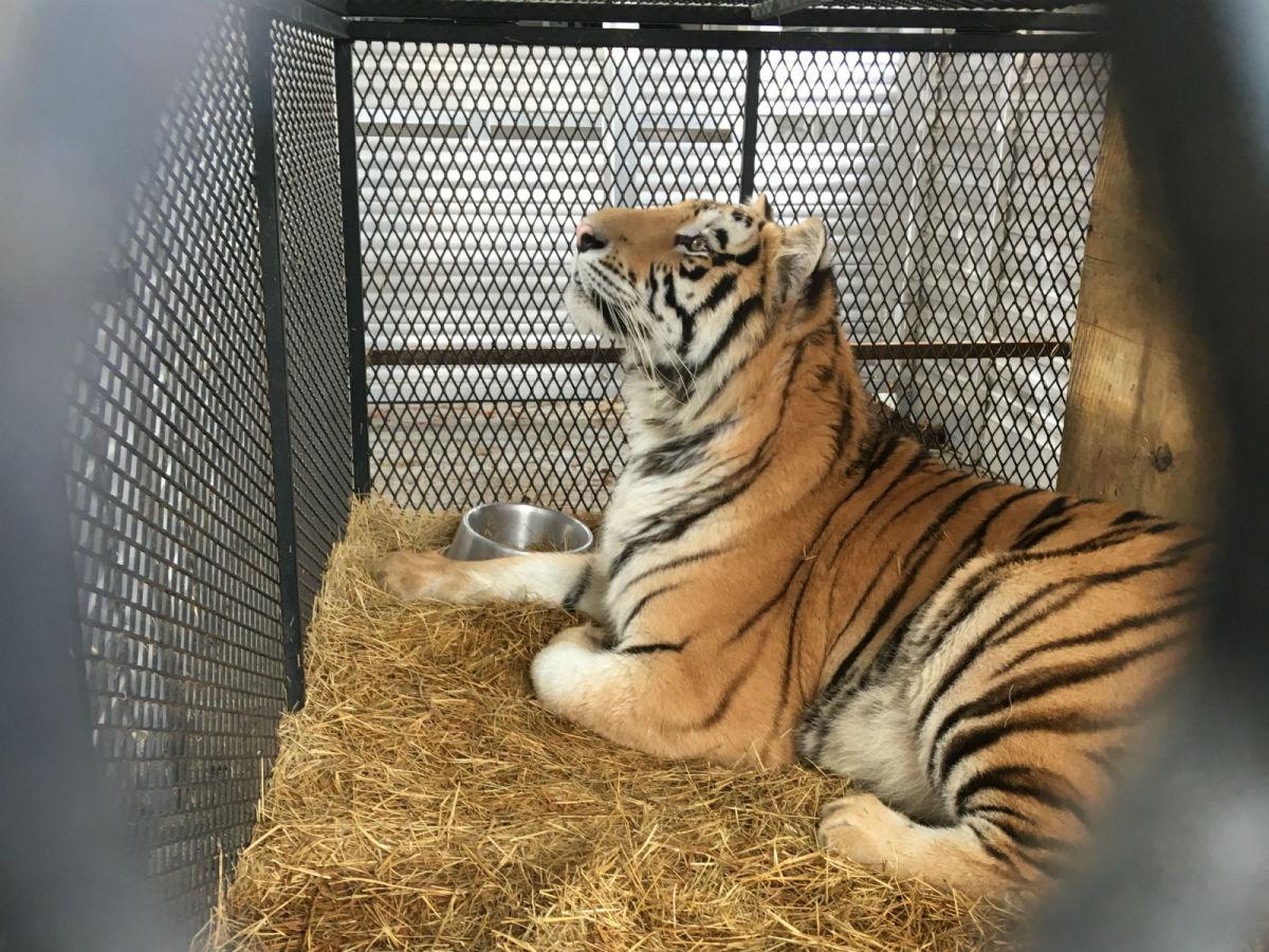 HSUS tiger