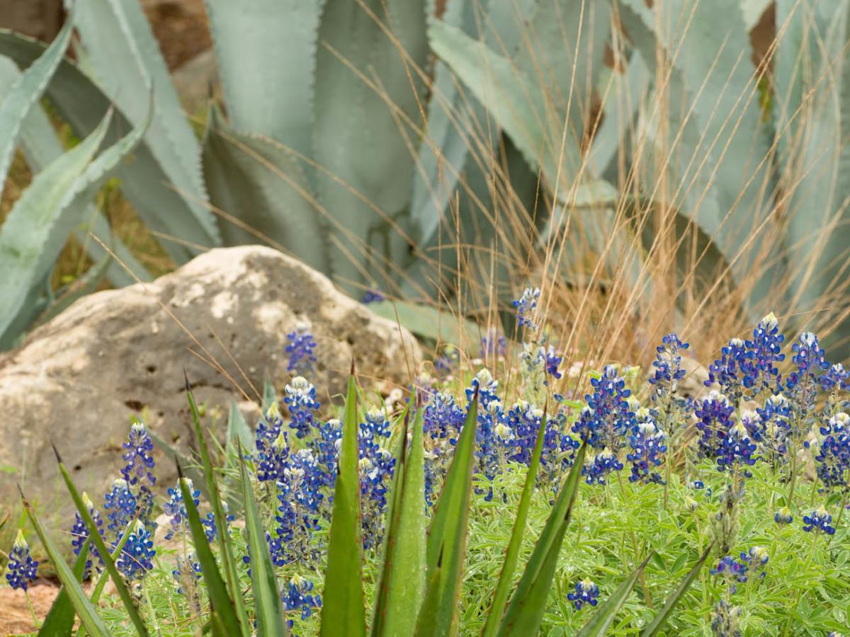 Bluebonnets wildflowers