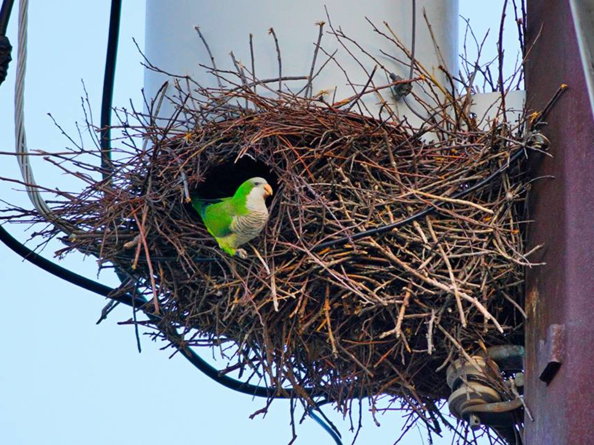 Monk Parakeet UT Intramural fields hyde park