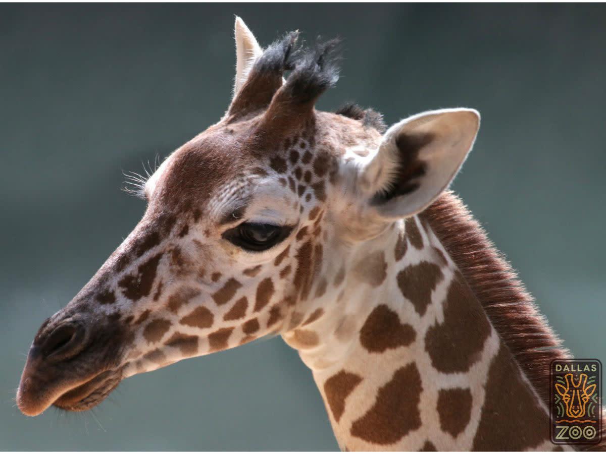 Witten baby giraffe