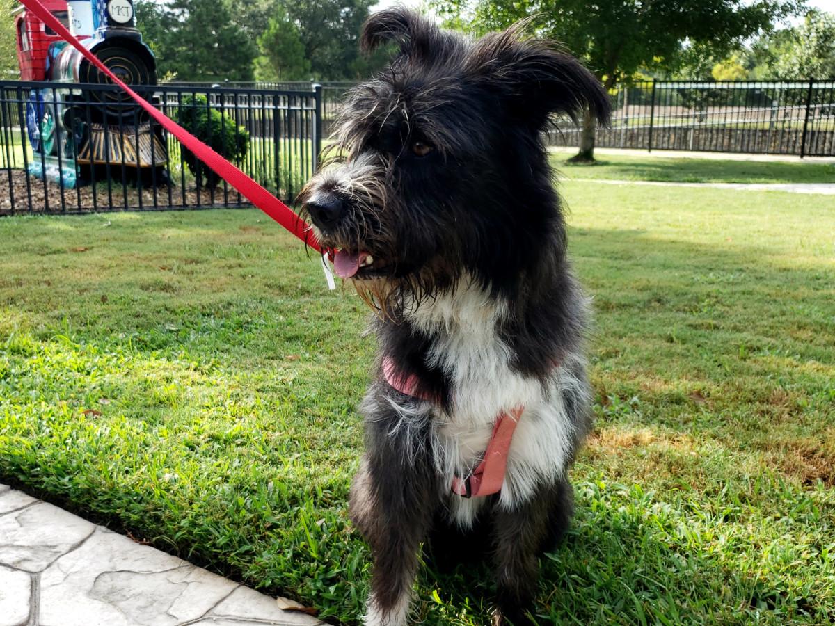 Pet of the week - Maggie terrier