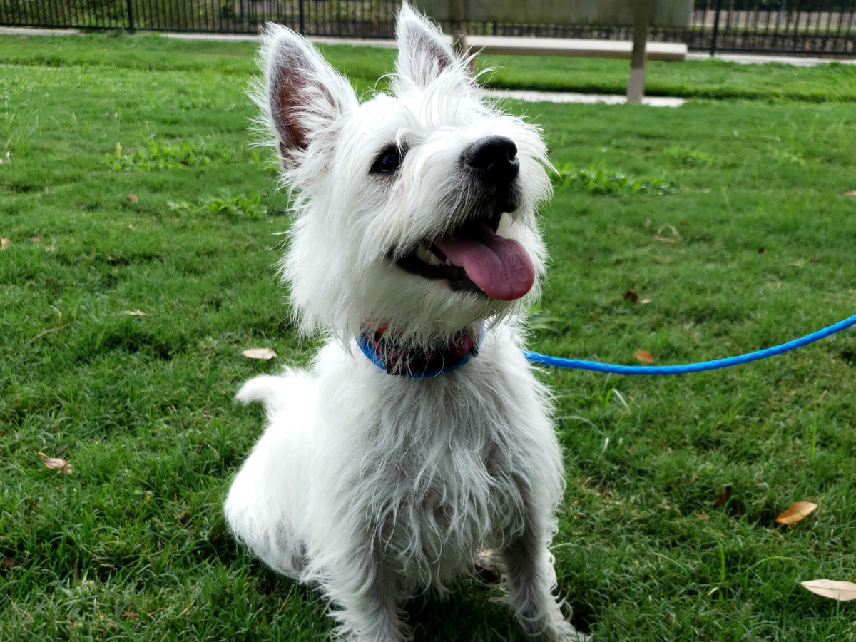 Pet of the week - Maisie Westie
