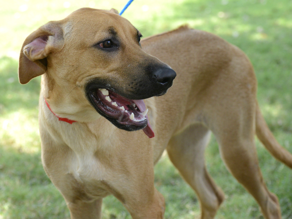 Pet of the week - Grace Rhodesian Ridgeback