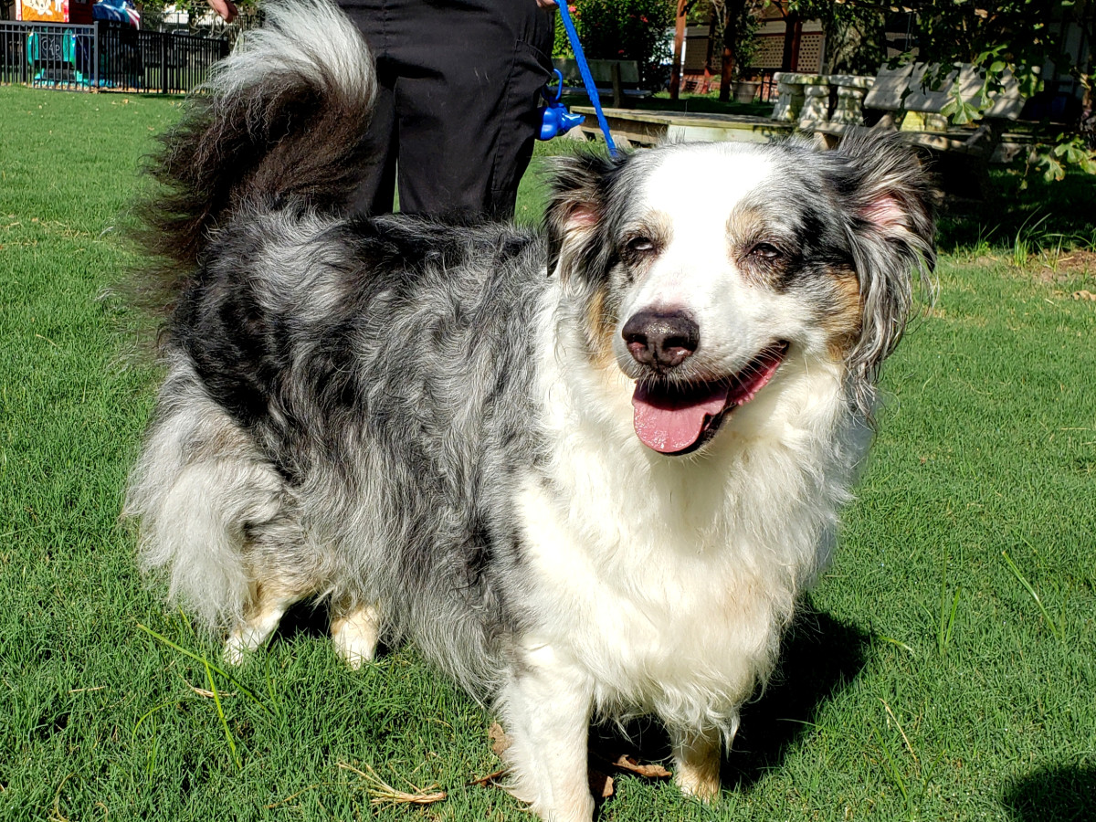 Pet of the week - Charlie Aussie mix