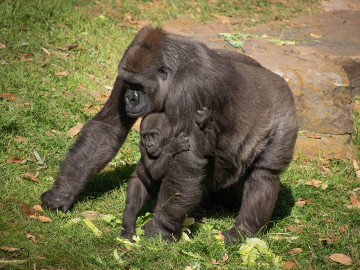 Dallas Zoo gorilla