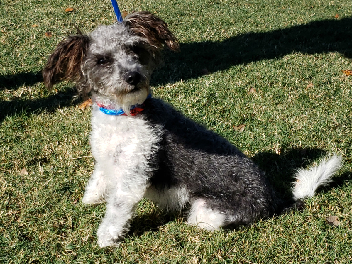 Pet of the week - London poodle terrier
