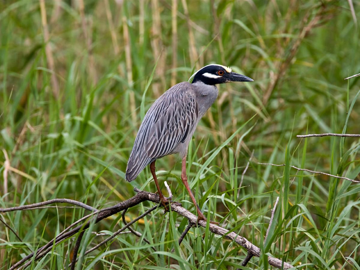 Yellow crowned Night-Heron Bird of Houston