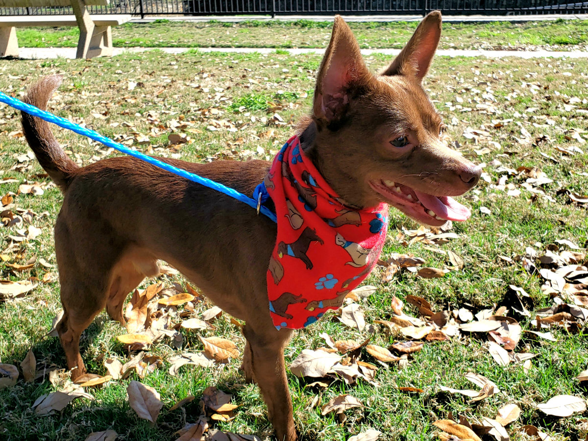 Pet of the week - Peanut Chihuahua