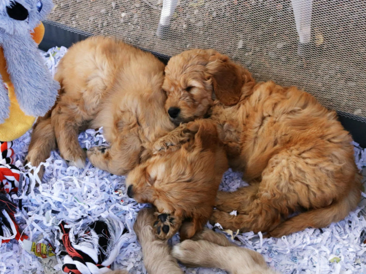 Canton first monday flea market puppies