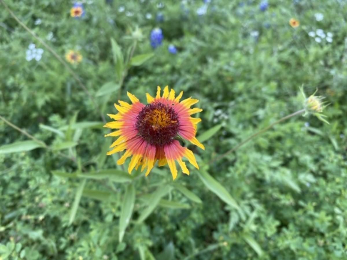 Indian Blanket firewheel Texas wildflower