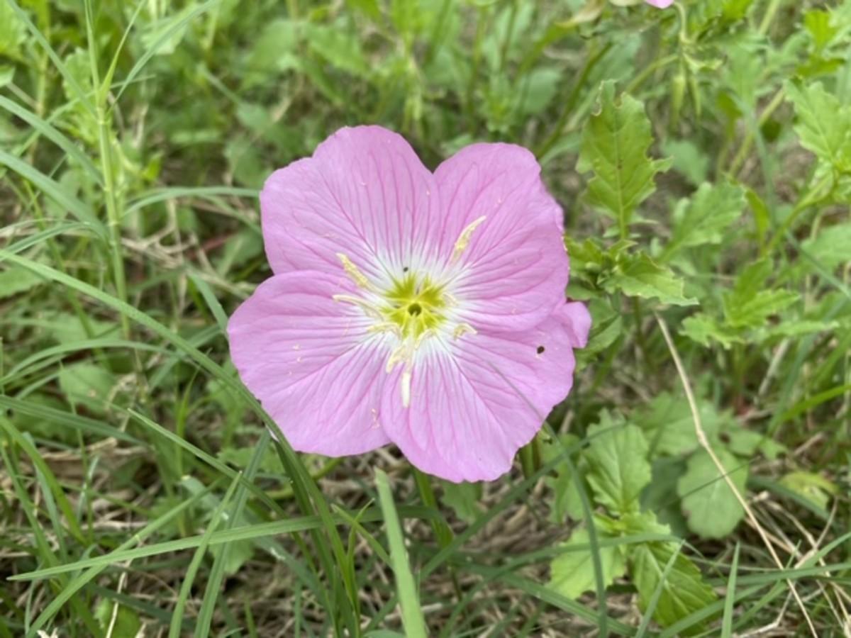 Evening primrose Texas wildflowers