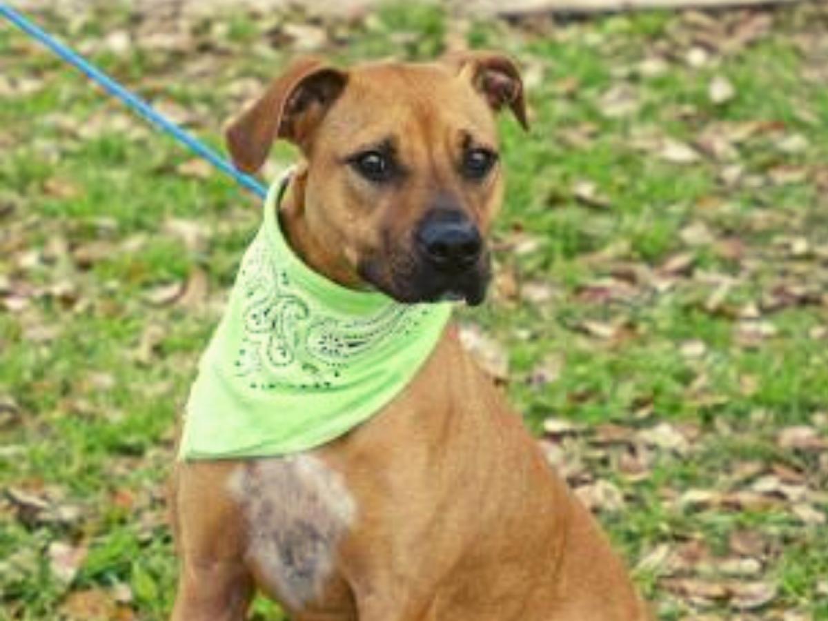 Pet of the week - Darla boxer retriever