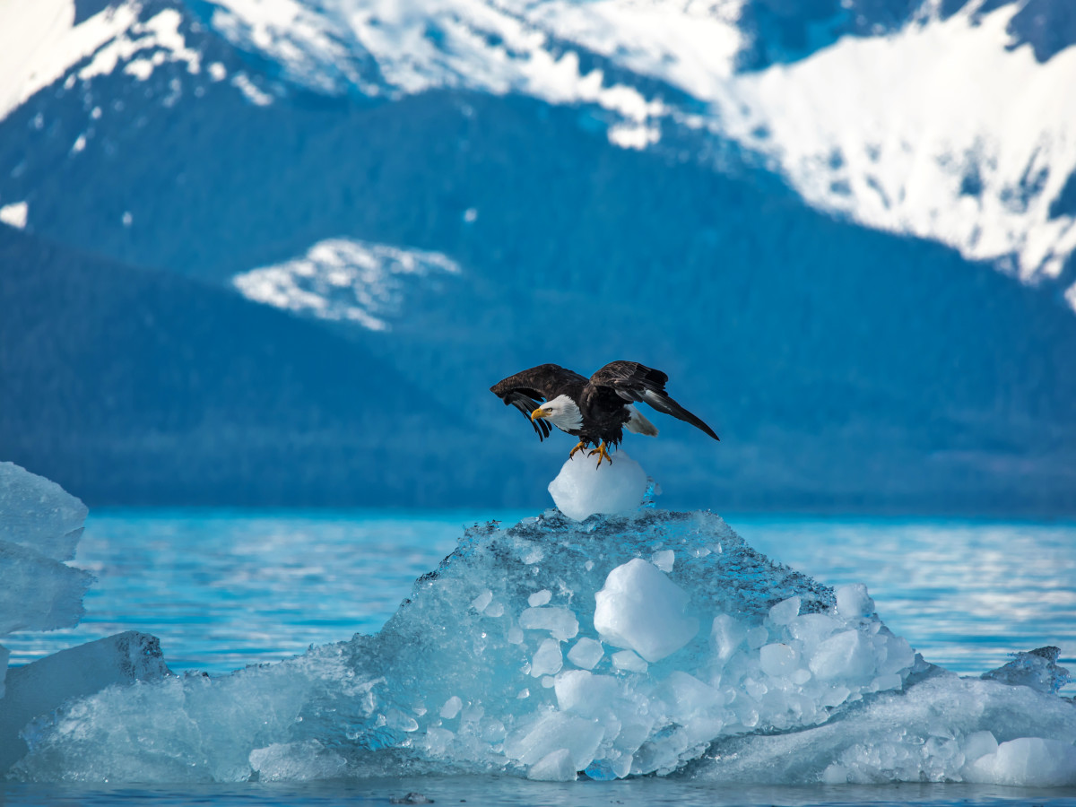 Bald eagle on a glacier