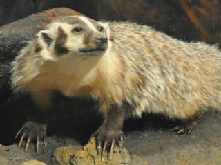 badger_Texas Memorial Museum_Hall of Texas Wildlife