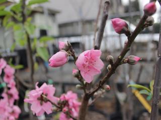 "Gardening talk: ""Growing Stone & Pom Fruit"" by Dianne Norman"