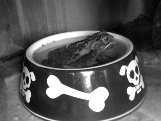 Toad in dog food bowl